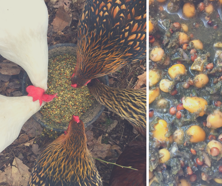 The layer hens enjoy our Kosher for Passover chicken feed